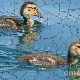 CUTE Ducklings by Beverly Guilliams