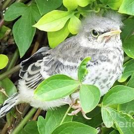 Cindy Treger - Cute Juvenile Northern Mockingbird