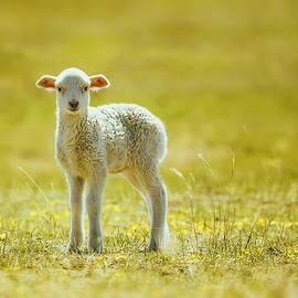 Oksana Ariskina - Cute lamb