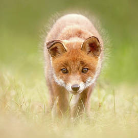 Cute Overload Series - Baby Fox Exploring the World - Roeselien Raimond
