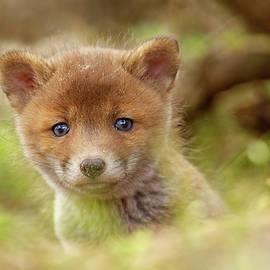 Roeselien Raimond - Cute Overload Series - Curious Baby Fox