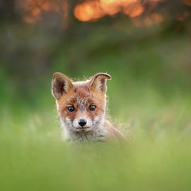 Cute Overload Series - Cute Baby Fox - Roeselien Raimond