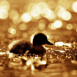 Roeselien Raimond - Cute Overload Series - Duckling reflections