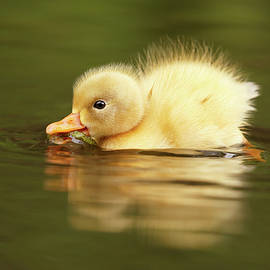 Cute Overload Series - The Very Hungry Duckling - Roeselien Raimond
