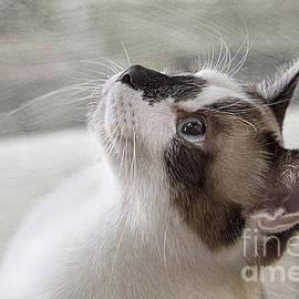 Cute Snowshoe Cat