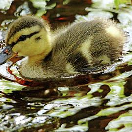 Debbie Oppermann - Dabbling Duckling