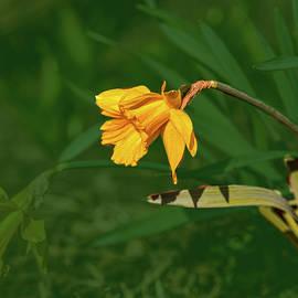 Leif Sohlman - Daffodil on green #g2