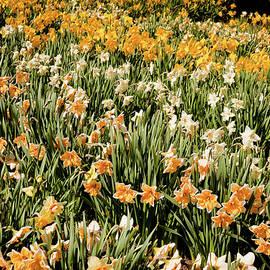 Daffodil Stripes by Susan Cole Kelly