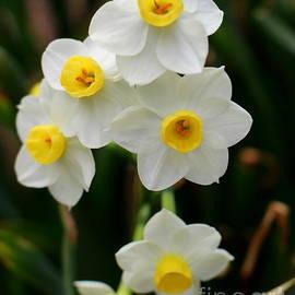 Daffodils by Charlene Cox