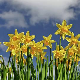 Daffodils by Steve Beinder