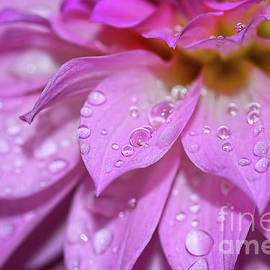 Kaye Menner - Dahlia Droplets by Kaye Menner