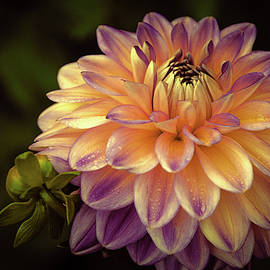 Julie Palencia - Dahlia in Peach and Lavender