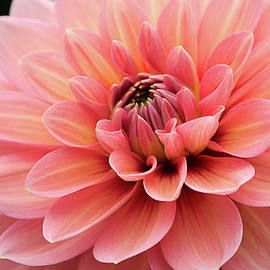 Julie Palencia - Dahlia in Pink and Peach