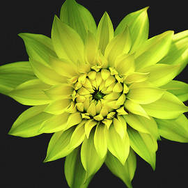 Julie Palencia - Dahlia in Yellow