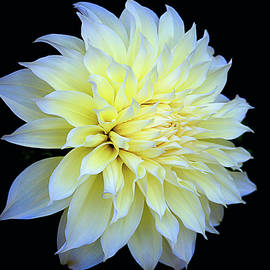 Julie Palencia - Dahlia Kelvin Floodlight