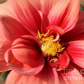 Dora Sofia Caputo Photographic Design and Fine Art - Dahlia Lovely in Coral
