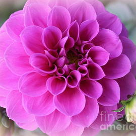 Dora Sofia Caputo Photographic Design and Fine Art - Dahlia Lovely in Magenta