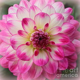Dora Sofia Caputo Photographic Design and Fine Art - Dahlia Lovely in Pink and White