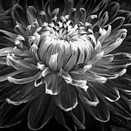 Kay Novy - Dahlia Macro In Black And White