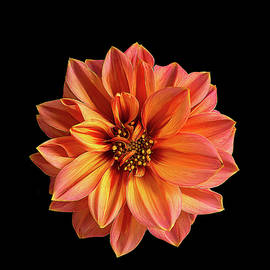 Robert Murray - Dahlia on Black No 8