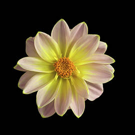 Robert Murray - Dahlia on Black