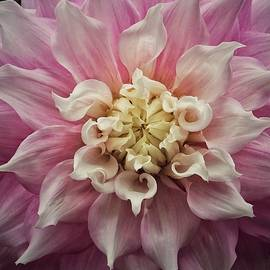 Karen Stahlros - Dahlia Perfection