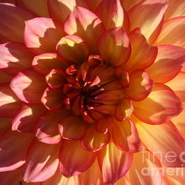 Dora Sofia Caputo Photographic Design and Fine Art - Dahlia Radiant in Pink