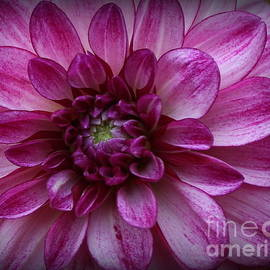 Dora Sofia Caputo Photographic Design and Fine Art - Dahlia Radiant in Purple and White