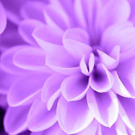 Dahlia World Purple Version by Johanna Hurmerinta