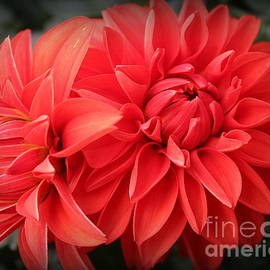 Dora Sofia Caputo Photographic Design and Fine Art - Dahlias Radiant in Red