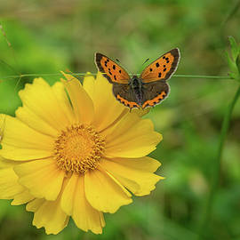 Linda Howes - Dainty Butterfly on Yellow Flower
