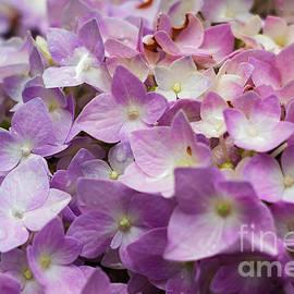 Elizabeth Dow - Dainty Pink Hydrangeas