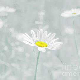 Hal Halli - Daisies in a Field