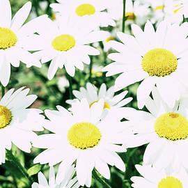 Daisy flowers by Alexey Stiop