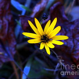 Daisy in  the leaves by Charlene Cox