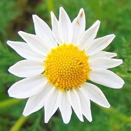 Daisy Oh Daisy by Honey Behrens