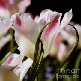 Dancing Tulip by Sue Harper