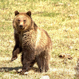 Dancing Yellowstone Grizzly by Adam Jewell