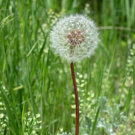 Dandelion by Brian Stricker