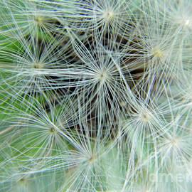 Dandelion Fluff by D Hackett