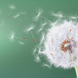 Dandelion flying on green background - Bess Hamiti