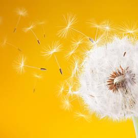 Dandelion flying on magenta background - Bess Hamiti