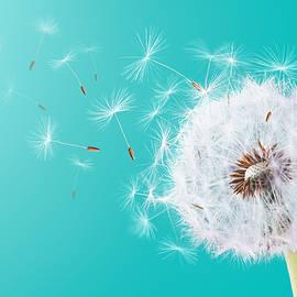 Dandelion flying on turquoise background - Bess Hamiti