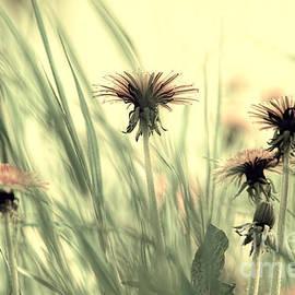 Dandelion Meadow by Tanja Riedel