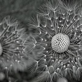Dandelion Seeds Monochrome by Cathy Mahnke