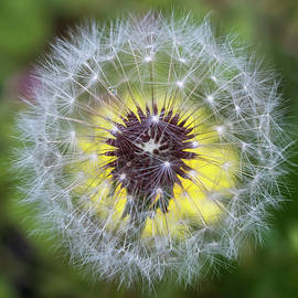 Dandelion Square  by Terry DeLuco