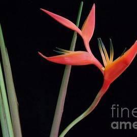Mary Deal - Daring Heliconia Acuminata