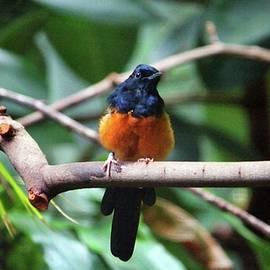 Dark Blue And Orange Bird by Cynthia Guinn