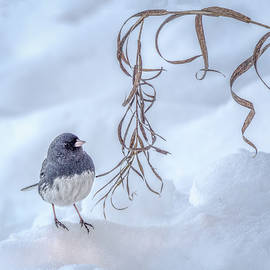 Wes Iversen - Dark-eyed Junco In Snow