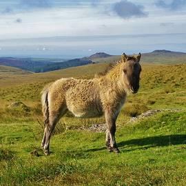 Richard Brookes - Dartmoor Pony Foal On Moor Near Princetown Devon